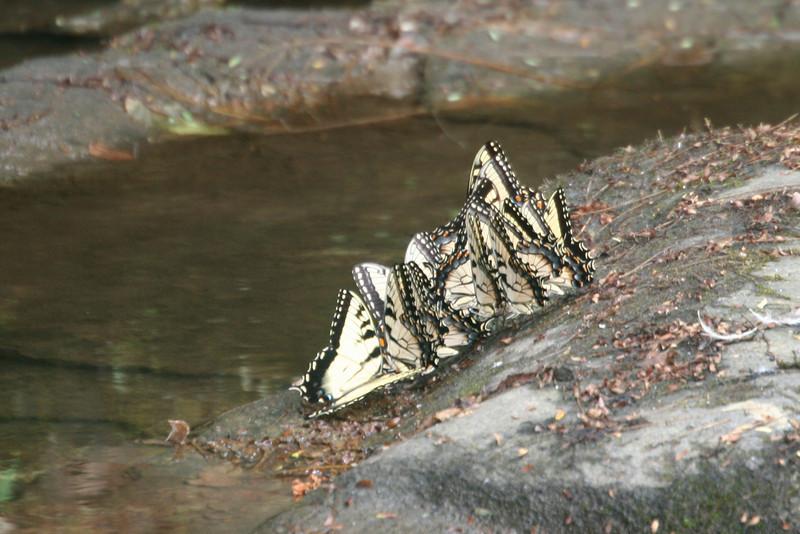 swallowtail reunion