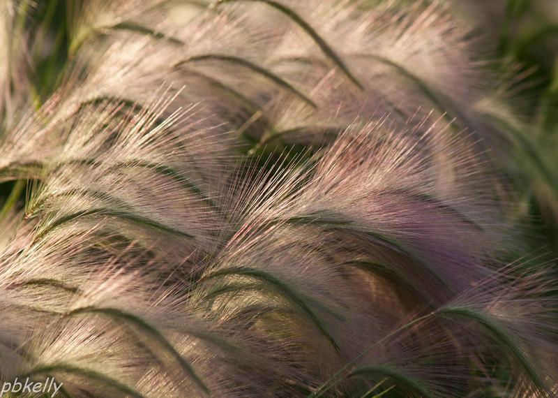 Foxtail Barley 061013-1.jpg
