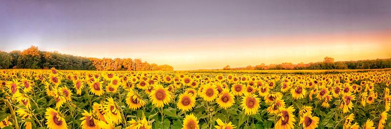 Mike Maney_Sunflower Panorama.jpg