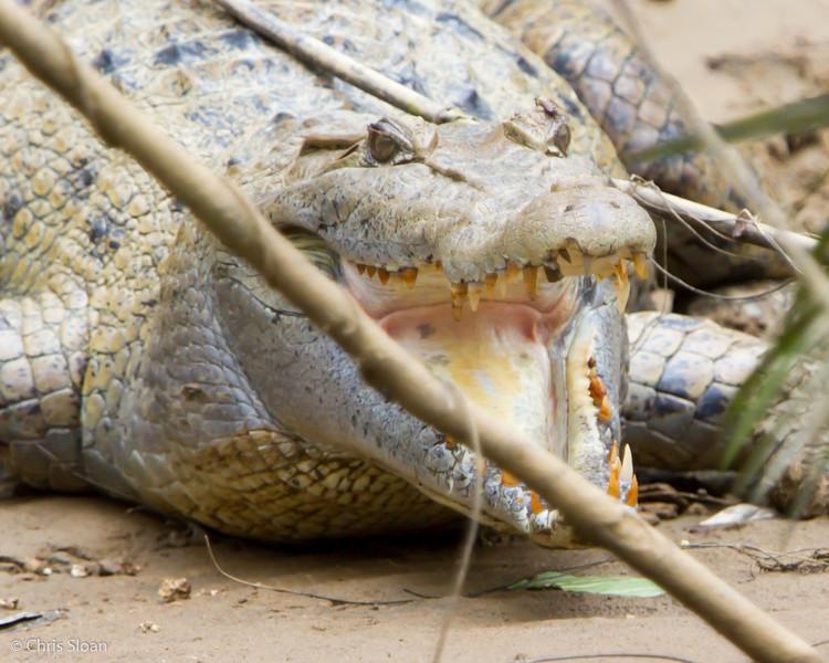 New Guinea Crocodile at Kwatu Lodge, Papua New Guinea (10-11-2013) 017-115.jpg