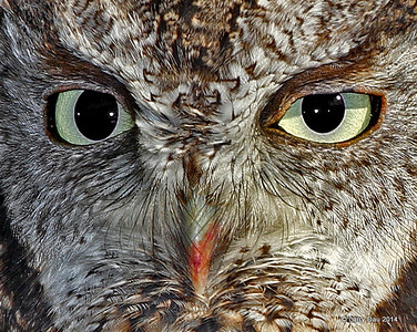 Eastern Screech Owl Fall 2014