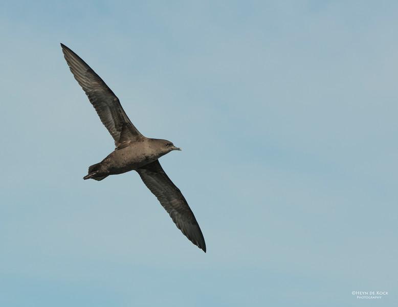 Short-tailed Shearwater, Wollongong Pelagic, Sep 2013-1.jpg