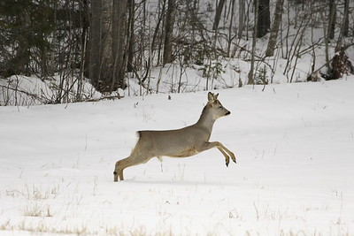 Leaping roe buck