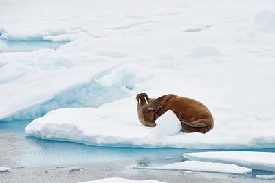 Lone Walrus 6/27