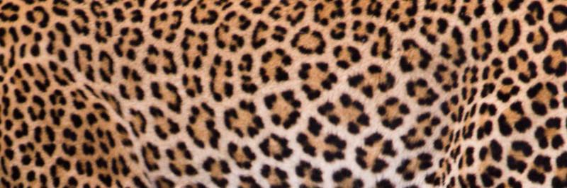 Leopard Pelt.