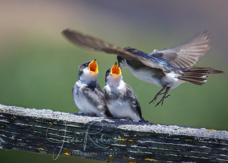 Tree Swallow Family