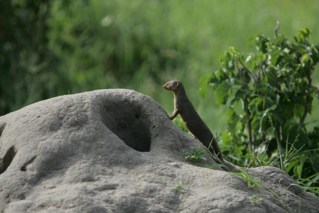 . A mongoose stands on a termite mound inTarangire National Park, Tanzania, Africa.
