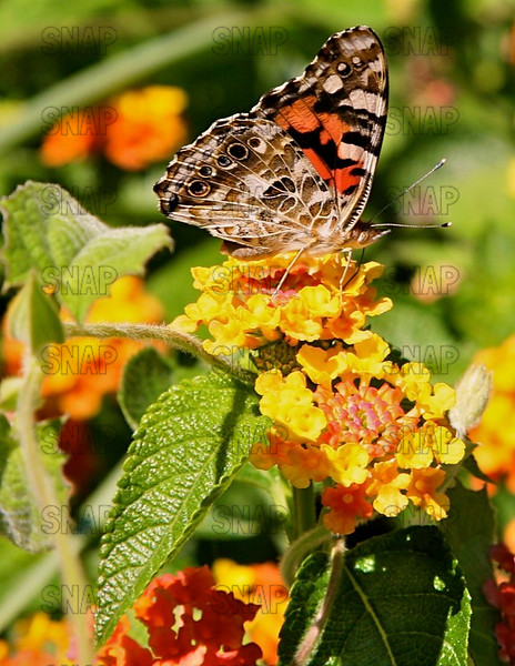 Painted Lady Butterfly; Cosmopolitan, Thistle Butterfly (Vanessa cardui).