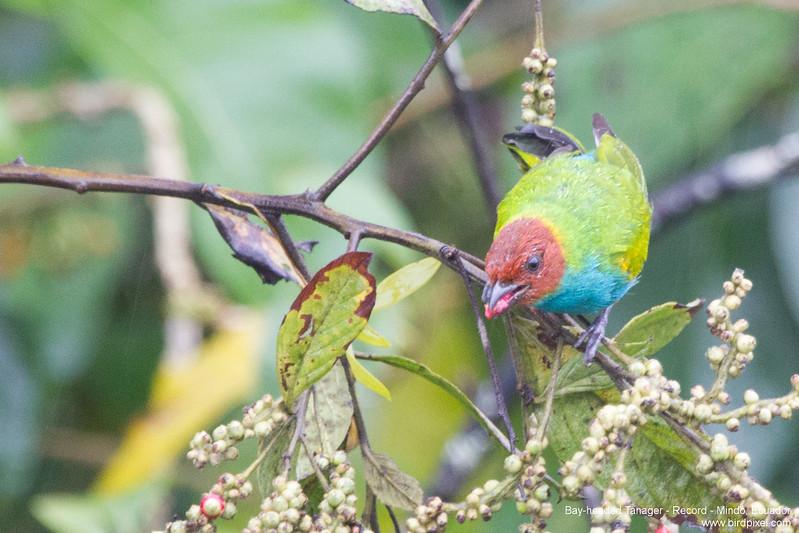 Bay-headed Tanager - Record - Mindo, Ecuador