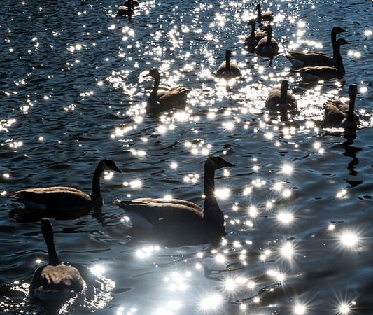 DAVID LIPNOWSKI / WINNIPEG FREE PRESS   Geese at Assiniboine Park Saturday November 5, 2016 on an unseasonably warm fall day.