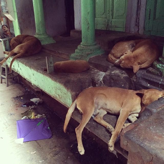 dogs varanasi india