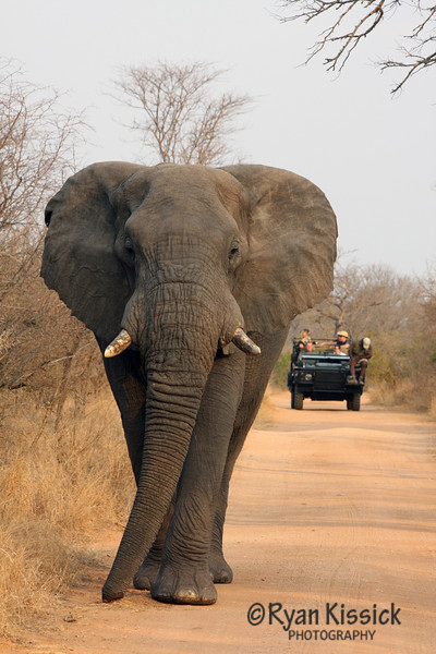 Bull African elephant with safari truck in background
