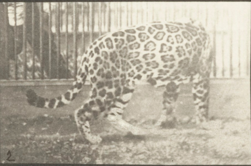 Jaguar walking then turning around