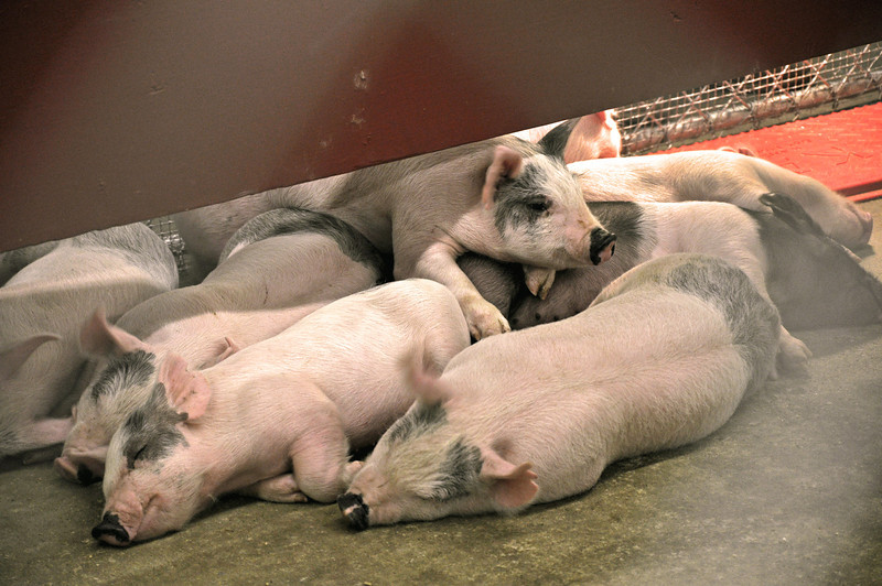 Pigs 01.jpg
