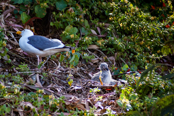 Adult Sea Gull & Baby