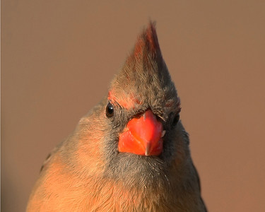 Cardinals and Sparrows