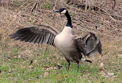Goose - Canada Goose