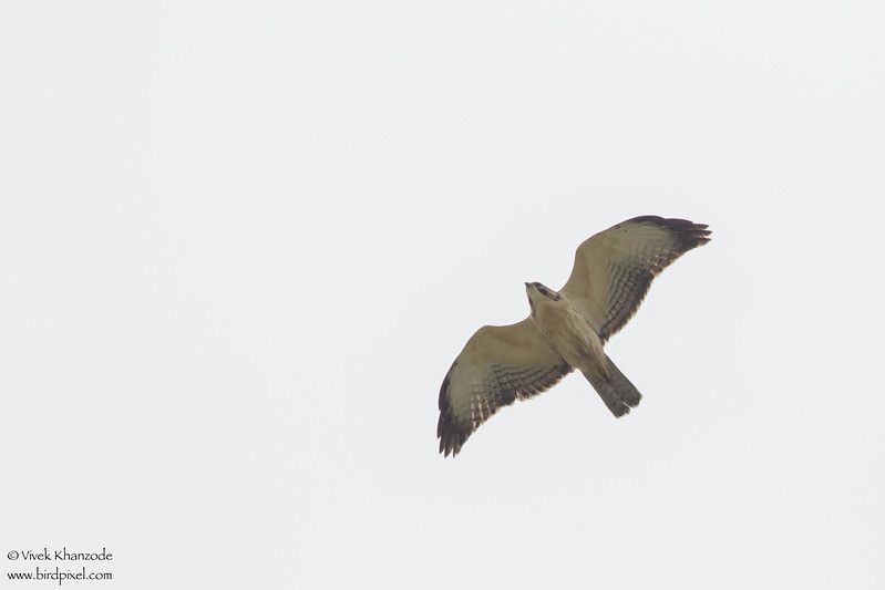 Short-tailed Hawk - Record - Crooked Tree, Belize
