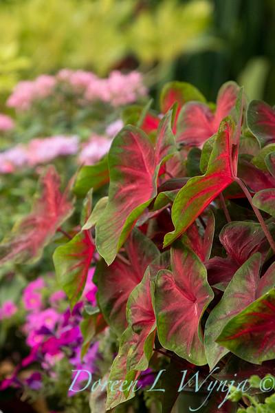 Caladium Red Alert landscape_0292.jpg