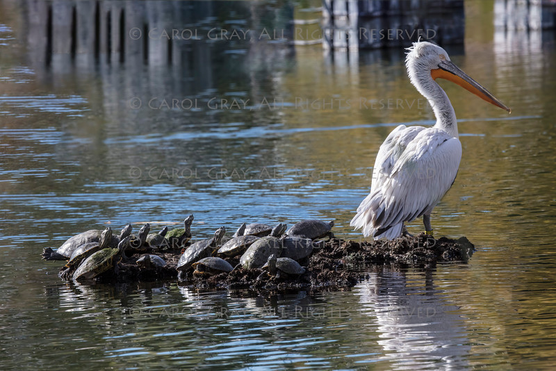 Pelican and Other Birds Gallery