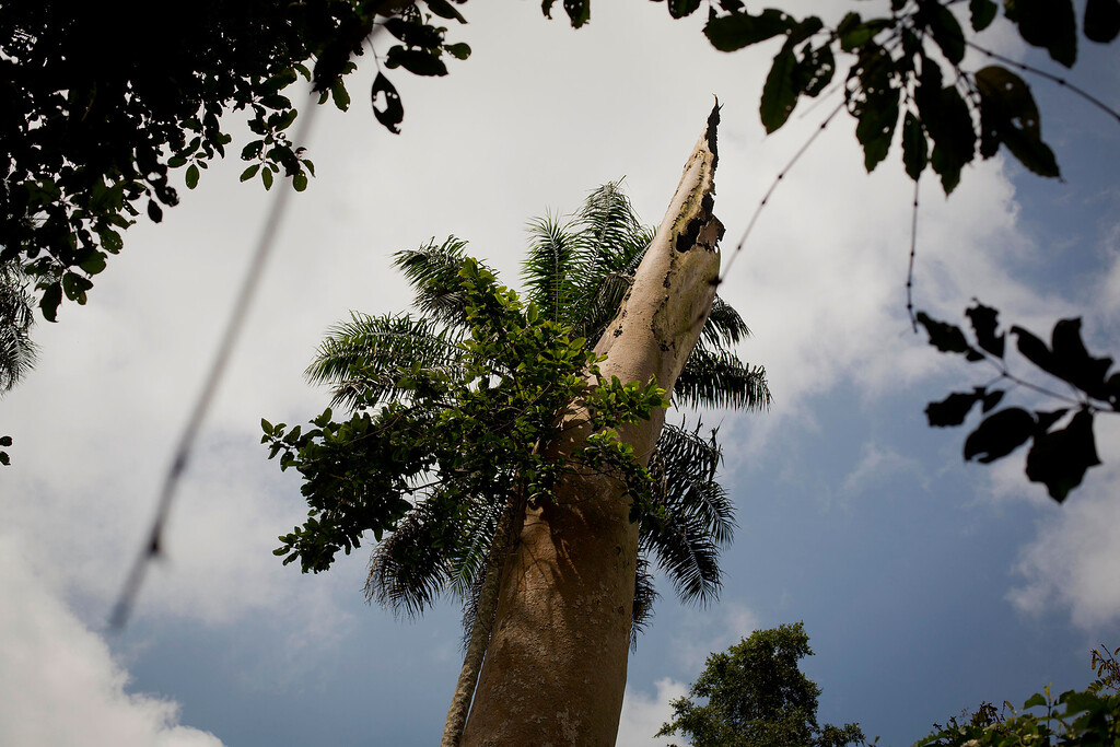 . This photo taken Saturday Nov. 22, 2014 shows a tree repeatedly smoked by villagers to catch bats  in the Guinean village of Meliandou, some 400 miles (600 kms) south-east of Conakry, Guinea, believed to be Ebola\'s ground zero. The official theory on how Ebola started is that somehow the virus was transmitted from its reservoir host, thought to be fruit bats, to humans and spread through the region plagued by bad roads, dense population and a problematic health care system. (AP Photo/Jerome Delay)