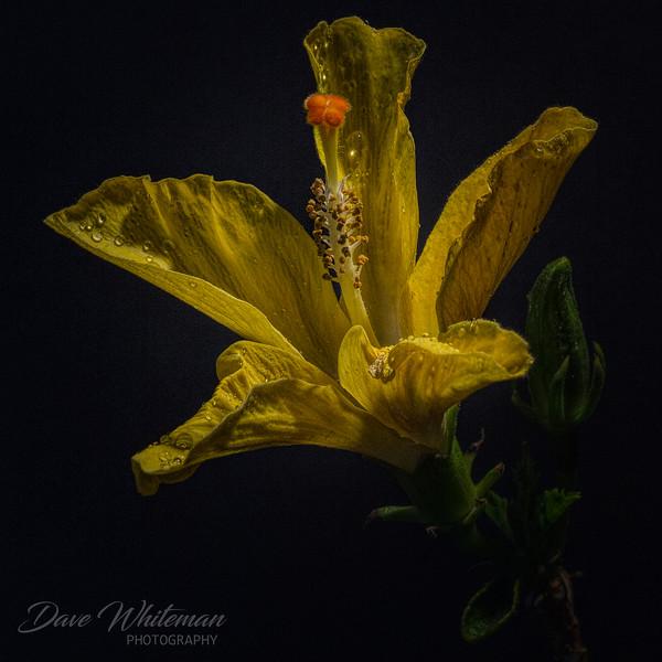 Spring Hibiscus