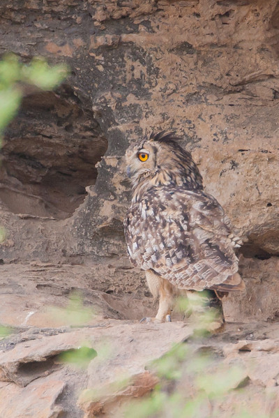 Rock (Indian) Eagle-Owl - Kutch, Gujrat, India
