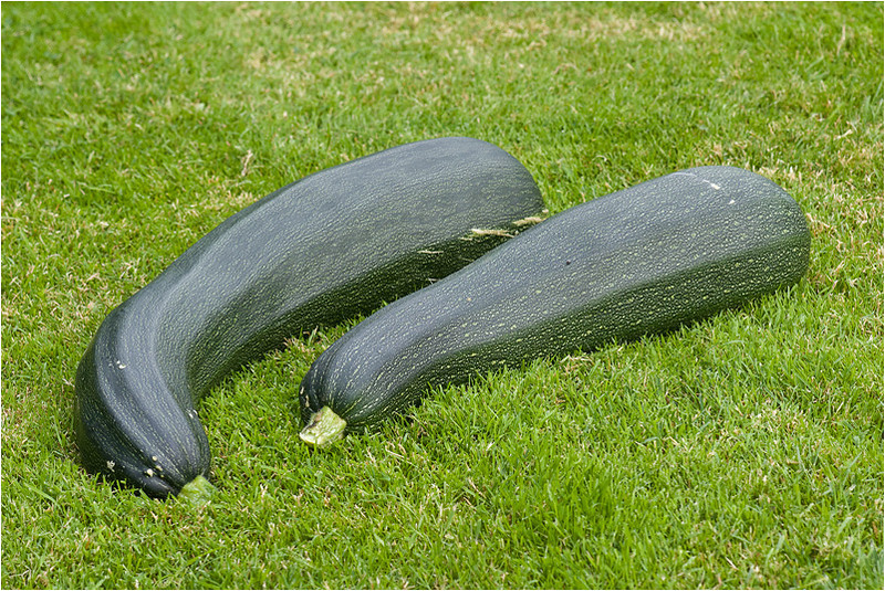 Giant Courgettes