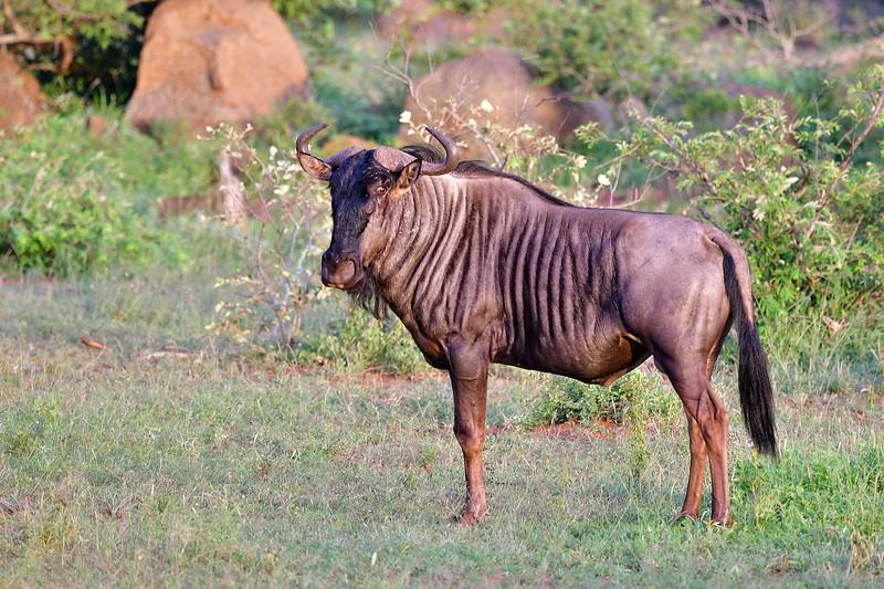 Blue Wildebeest Mid-shot