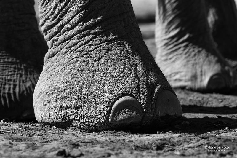African Elephant, b&w, Mashatu GR, Botswana, May 2017-7.jpg