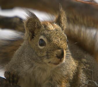 Alaskan squirrel