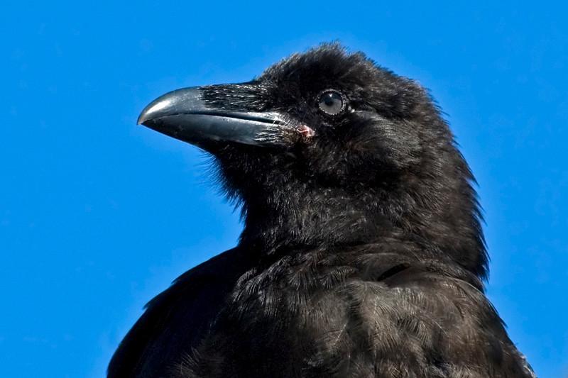 Raven - Common - Glacier Bay National Park,  AK - 01