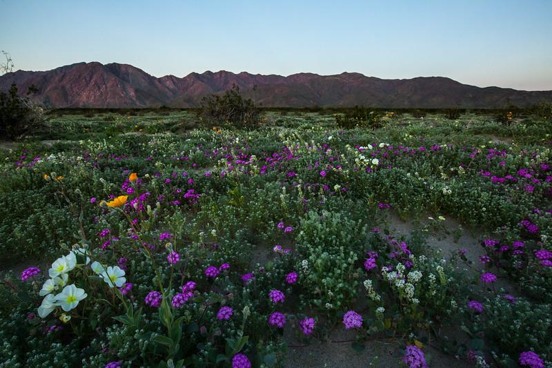 Anza Borrego State Park wild flower super bloom. March 2017.
