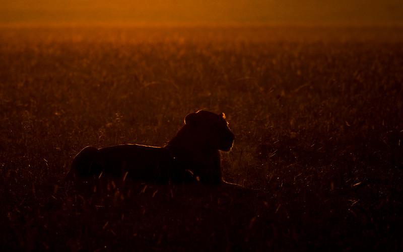 Dawn-rimlit-lion-masaimara.jpg