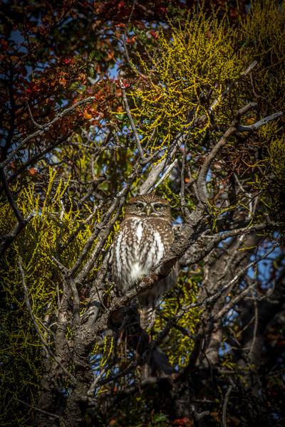 Pygmy Owl-2.jpg