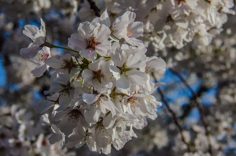 Cherry Blossom Tidal Basin Early Morning -48.jpg