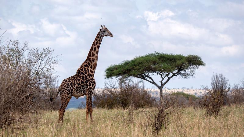 Tanzania-Tarangire-National-Park-Safari-Giraffe-06.jpg