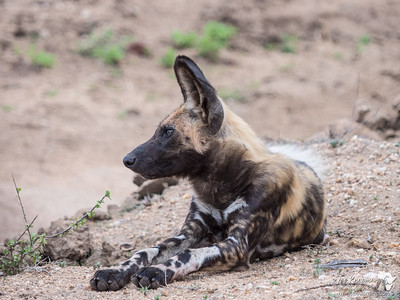 Painted Dog 1