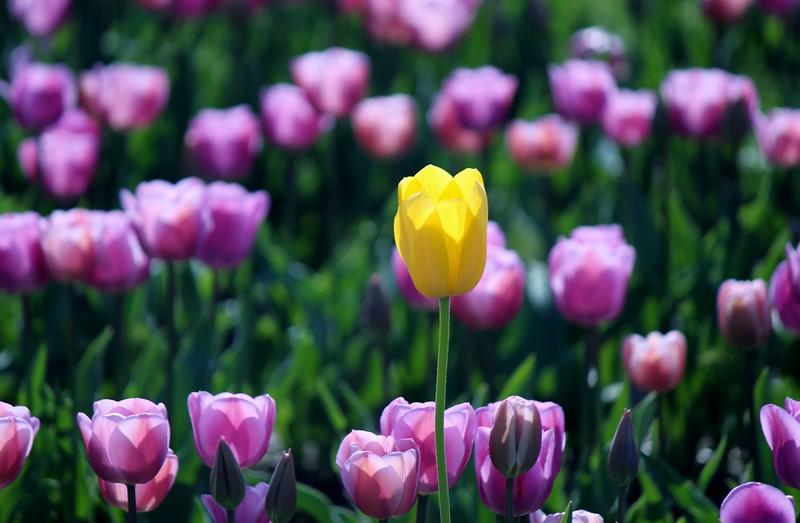 2015-03-30 2015 Tulips 065.JPG