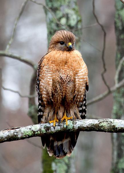 Hawk photo.jpg