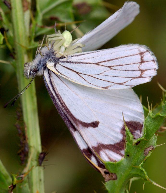 butterflyandcrabspider2.jpg