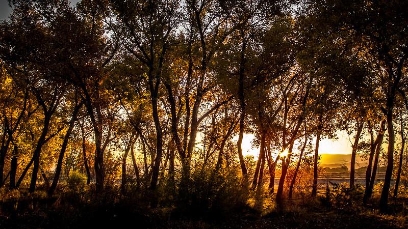 Aspens greet the dawn