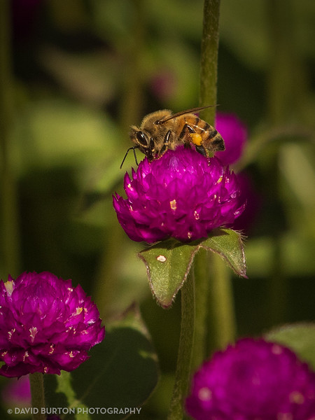 Bee_on_Flowers_5195cc2fx-web.jpg