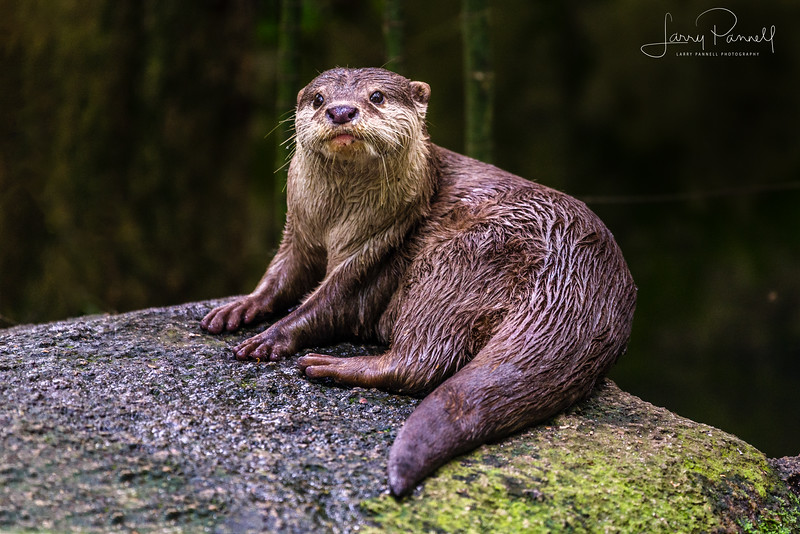 Asian Small Clawed Otter - rock