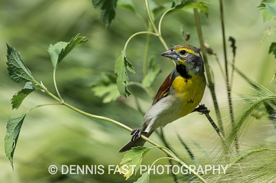 PRAIRIE GRASSLAND BIRDS