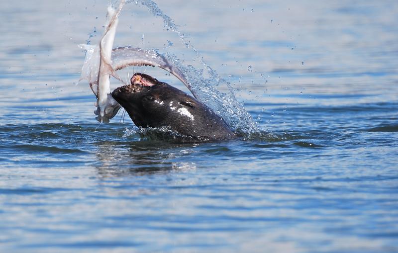 fur seal octopus fight.jpg