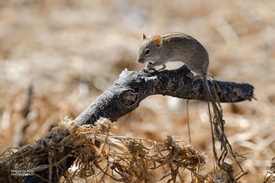 Four-striped Grass Mouse (Rhabdomys pumilio)