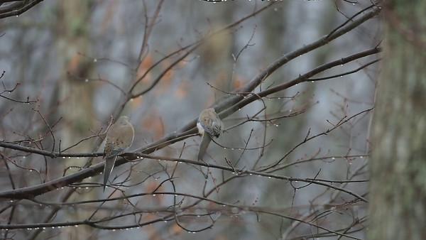 Strange dove behavior -February2016