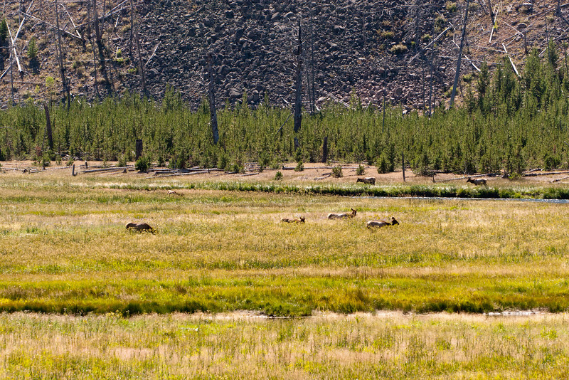 Some elk in the meadow.