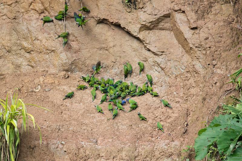 Blue-headed Parrot & Dusky-headed Parakeet